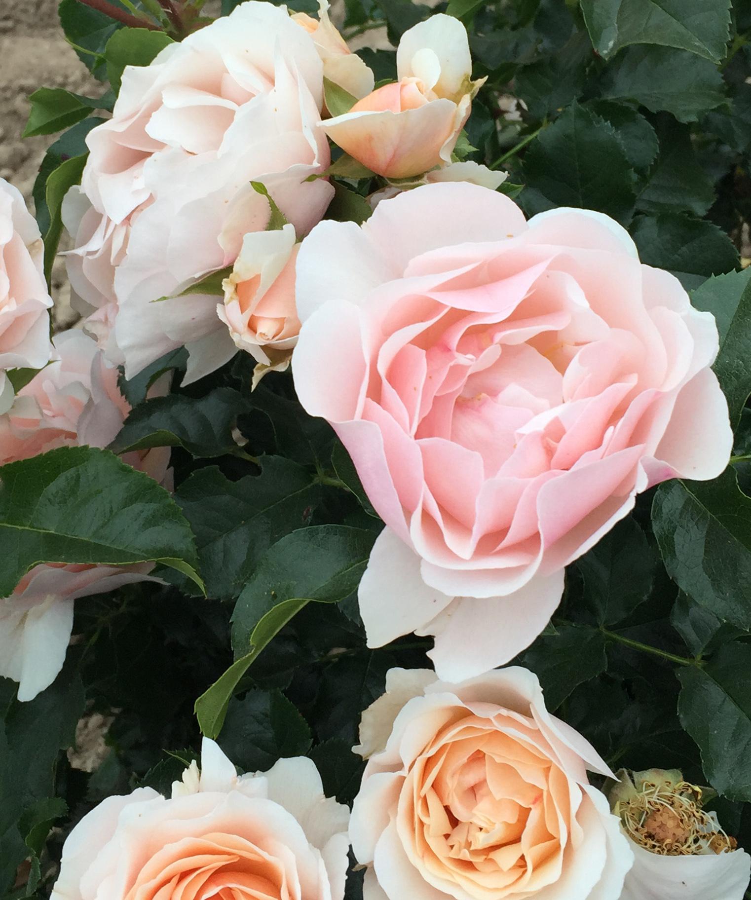 d2c10b49e614e ... le rosier Jardin des Tuileries®delcréor a reçu la médaille d'or au concours  international de roses de Baden-Baden, ainsi que le prix du parfum à celui  ...