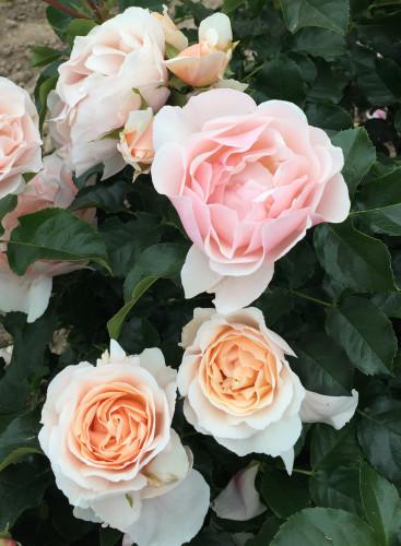 Rose Jardin des Tuileries.jpg